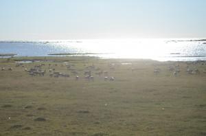 Hundratals Gäss proviantera här på södra Öland innan flytten