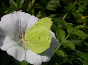Vid en hastig blick tas fjärillen för ett blad