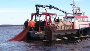 Merparten av den löjrom vi äter kläms ur löjor fiskade med trål som dras av två fiskebåtar