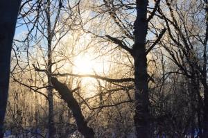 Tidig morgon i björkskogen